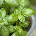 Basilic feuilles entières