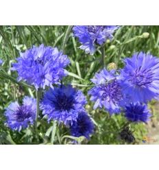 Bleuet fleurs entières