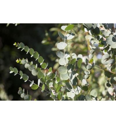 Eucalyptus feuilles coupées